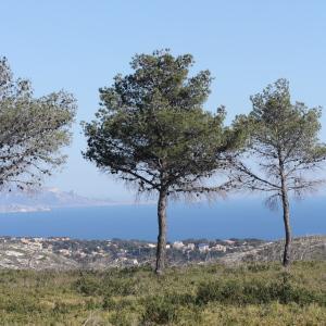 Photographie n°305684 du taxon Pinus halepensis Mill. [1768]