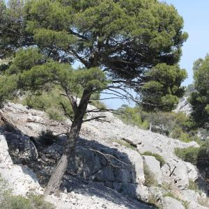 Photographie n°305743 du taxon Pinus halepensis Mill. [1768]