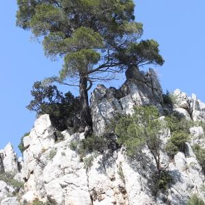 Photographie n°305747 du taxon Pinus halepensis Mill. [1768]