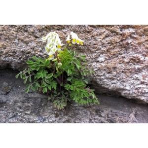 Corydalis ochroleuca W.D.J.Koch (Corydale jaune pâle)