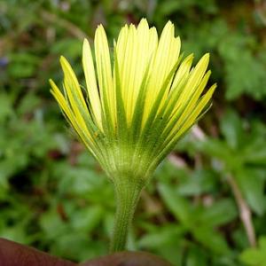 Photographie n°307288 du taxon Doronicum plantagineum L.