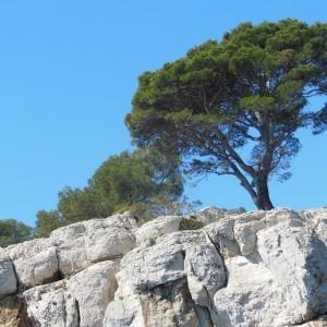 Photographie n°307515 du taxon Pinus halepensis Mill. [1768]