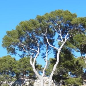 Photographie n°307517 du taxon Pinus halepensis Mill. [1768]