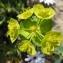 Dominique Remaud - Euphorbia serrata L. [1753]