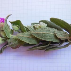 Photographie n°307602 du taxon Cistus albidus L. [1753]