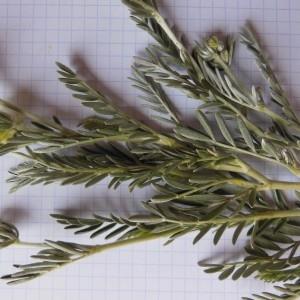 Photographie n°307621 du taxon Anthyllis barba-jovis L.