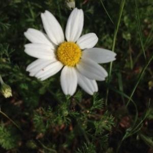 Photographie n°307965 du taxon Tripleurospermum inodorum (L.) Sch.Bip. [1844]