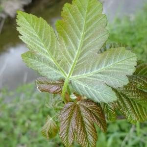 Photographie n°308128 du taxon Acer pseudoplatanus L.