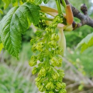 Photographie n°308132 du taxon Acer pseudoplatanus L.