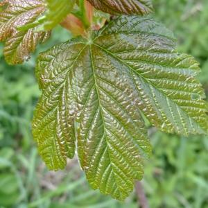 Photographie n°308133 du taxon Acer pseudoplatanus L.