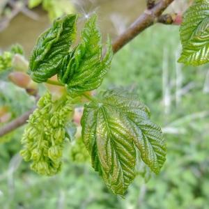 Photographie n°308135 du taxon Acer pseudoplatanus L.