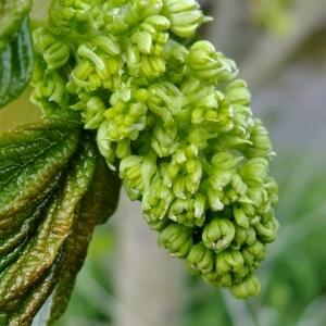 Photographie n°308138 du taxon Acer pseudoplatanus L.