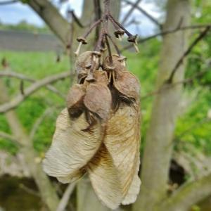Photographie n°308139 du taxon Acer pseudoplatanus L.