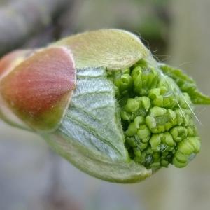 Photographie n°308141 du taxon Acer pseudoplatanus L.
