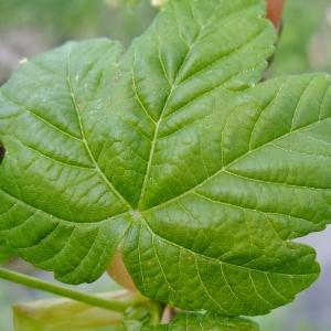 Photographie n°308142 du taxon Acer pseudoplatanus L.