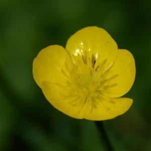 Ranunculus repens L. (Renoncule rampante)