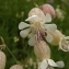 Florent Beck - Silene vulgaris (Moench) Garcke [1869]