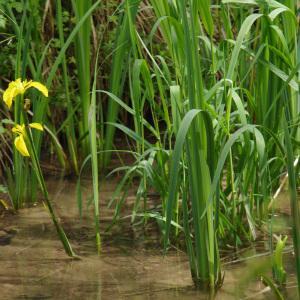 Photographie n°308609 du taxon Iris pseudacorus L. [1753]