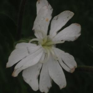 Photographie n°308711 du taxon Silene latifolia subsp. alba (Mill.) Greuter & Burdet [1982]