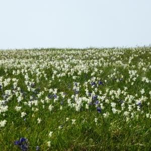 Photographie n°308835 du taxon Narcissus triandrus subsp. capax (Salisb. ex Sweet) D.A.Webb [1978]