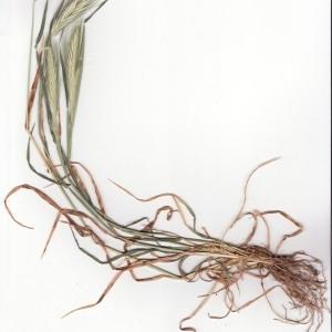 - Hordeum murinum subsp. glaucum (Steud.) Tzvelev [1972]