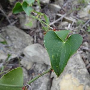 Photographie n°309281 du taxon Smilax aspera L. [1753]
