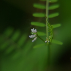 Photographie n°309839 du taxon Vicia hirsuta (L.) Gray [1821]
