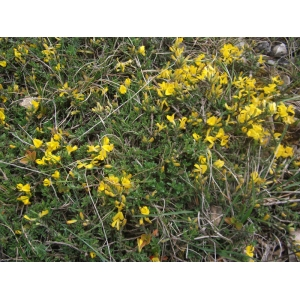 Genista pilosa L. subsp. pilosa (Genêt poilu)