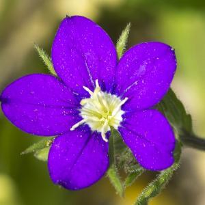 Photographie n°310276 du taxon Legousia speculum-veneris (L.) Chaix