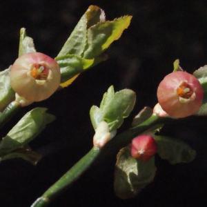Photographie n°310417 du taxon Vaccinium myrtillus L.
