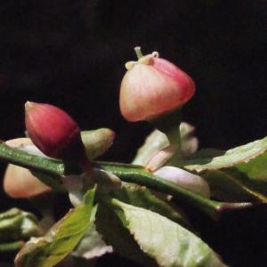 Photographie n°310418 du taxon Vaccinium myrtillus L.
