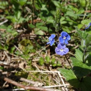 Photographie n°310655 du taxon Veronica chamaedrys L. [1753]