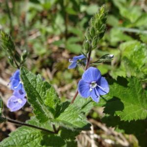 Photographie n°310656 du taxon Veronica chamaedrys L. [1753]