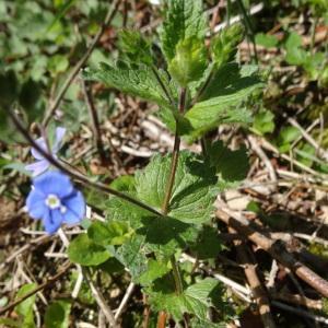Photographie n°310658 du taxon Veronica chamaedrys L. [1753]