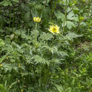 Photographie n°310714 du taxon Anemone alpina subsp. apiifolia (Scop.) O.Bolòs & Vigo [1974]