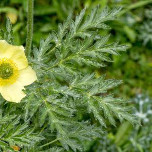 Photographie n°310717 du taxon Anemone alpina subsp. apiifolia (Scop.) O.Bolòs & Vigo [1974]