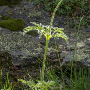 Photographie n°310718 du taxon Anemone alpina subsp. apiifolia (Scop.) O.Bolòs & Vigo [1974]