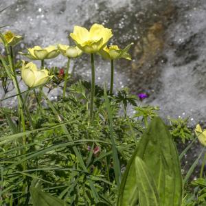 Photographie n°310719 du taxon Anemone alpina subsp. apiifolia (Scop.) O.Bolòs & Vigo [1974]