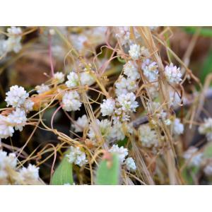 Cuscuta epithymum subsp. corsicana (Yunck.) Lambinon (Cuscute de Corse)