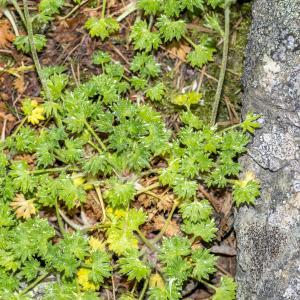Photographie n°311074 du taxon Saxifraga geranioides L. [1755]