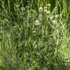 Photographie n°311139 du taxon Trifolium montanum L. [1753]
