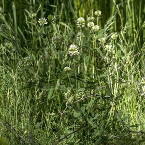 Photographie n°311140 du taxon Trifolium montanum L. [1753]