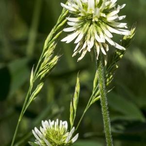 Photographie n°311141 du taxon Trifolium montanum L. [1753]
