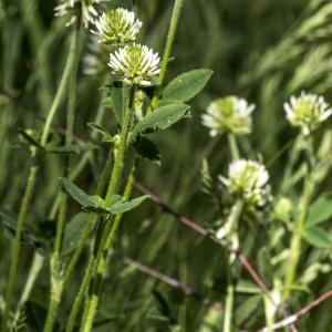 Photographie n°311152 du taxon Trifolium montanum L. [1753]