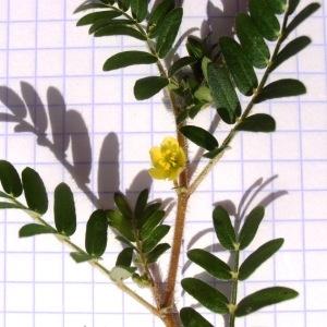 Photographie n°311408 du taxon Tribulus terrestris L. [1753]