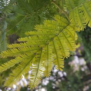 Photographie n°311662 du taxon Acacia dealbata Link [1822]