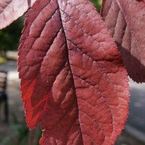 Photographie n°311832 du taxon Prunus cerasifera Ehrh.