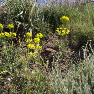 Photographie n°311864 du taxon Euphorbia biumbellata Poir.