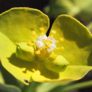 Photographie n°311871 du taxon Euphorbia biumbellata Poir. [1789]