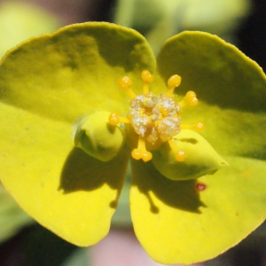 Euphorbia biumbellata Poir. (Euphorbe à double ombelle)